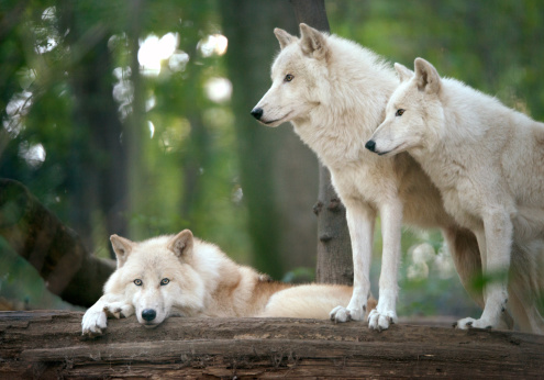 Gray Wolf「Arctic Wolves Pack in Wildlife」:スマホ壁紙(14)