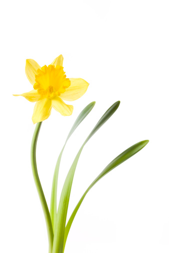 Daffodil「Daffodil isolated on white」:スマホ壁紙(4)