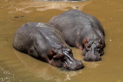 カバ「Hippos resting in Mara River」:スマホ壁紙(16)