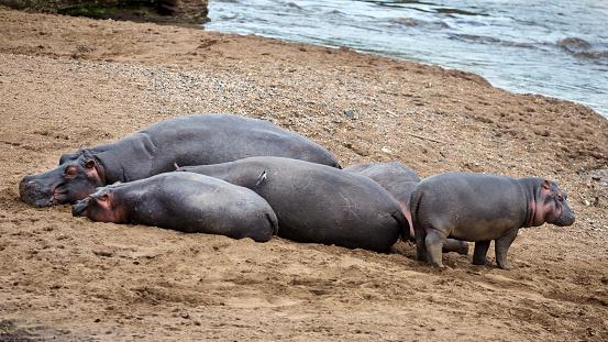 カバ「Hippos resting on Mara River bank.」:スマホ壁紙(8)