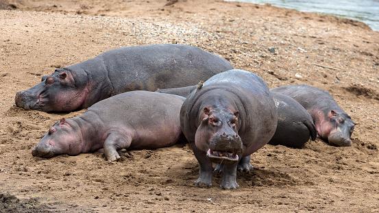 カバ「Hippos resting on Mara River bank.」:スマホ壁紙(7)