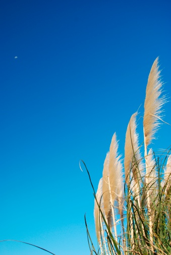 Pampas「'Toitoi' or 'Toetoe' Grass Heads, Sky & Moon」:スマホ壁紙(14)