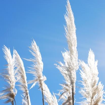 Pampas「'Toitoi' or 'Toetoe' Grass, backlit by a Evening Summer Sun」:スマホ壁紙(12)