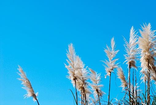 New Zealand Culture「'Toitoi' or 'Toetoe' Grass, backlit by a Evening Summer Sun」:スマホ壁紙(0)