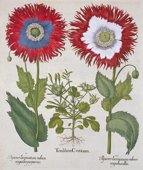 Botany「Tordilion Creticum by Basil Besler」:写真・画像(10)[壁紙.com]
