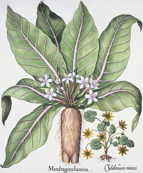 Botany「Mandragora Foemina by Basil Besler」:写真・画像(5)[壁紙.com]