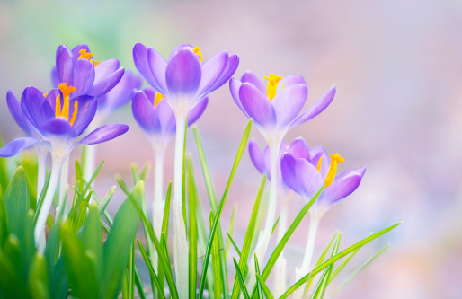 Crocus「Purple Spring Crocus flowers outdoors」:スマホ壁紙(10)