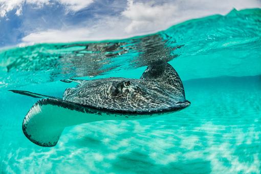 ケイマン諸島「Stingray under the surface」:スマホ壁紙(11)