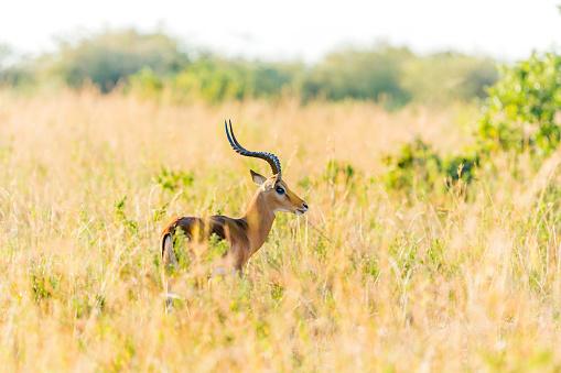 Gazelle「Male Grant's Gazelle」:スマホ壁紙(3)