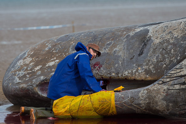 Aquatic Mammal「Beached Hunstanton Sperm Whale Dies」:写真・画像(2)[壁紙.com]