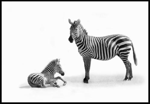 Zebra「Mother Zebra with fold.」:スマホ壁紙(10)