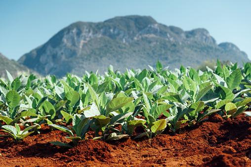 Central America「Tobacco fields, Valle de Vinales, Cuba」:スマホ壁紙(0)