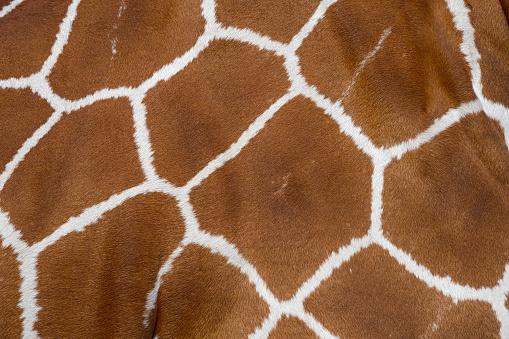 Giraffe「Giraffe, Giraffa camelopardalis, Detail」:スマホ壁紙(3)