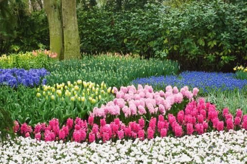 Keukenhof Gardens「Mixed tulips (Tuilpa) with hyacinths (Hyacinthus), April」:スマホ壁紙(13)