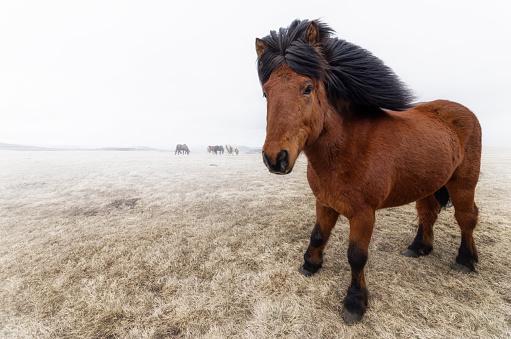 Horse「Iceland, Icelandic Horse」:スマホ壁紙(15)