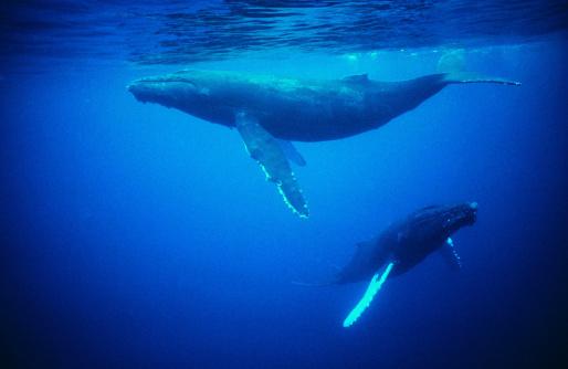 クジラ「Whales underwater」:スマホ壁紙(10)