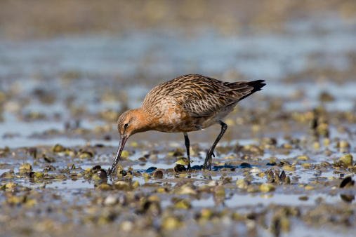 Shallow「Bar-tailed Godwit (Limosa lapponica), feeding on shellfish beds, arctic migrant, New Zealand」:スマホ壁紙(15)
