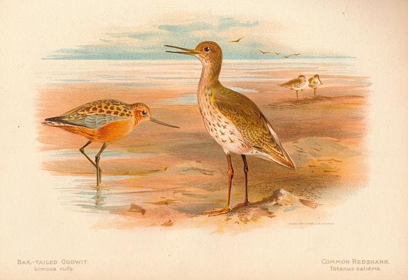 Beak「'Bar-Tailed Godwit (Limosa rufa), Common Redshank (Totanus)', 1900, (1900)」:写真・画像(15)[壁紙.com]