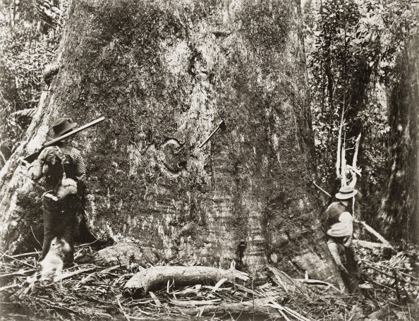 Tropical Tree「Eucalyptus Regnans In Victoria. Australia. Photograph. About 1885.」:写真・画像(5)[壁紙.com]