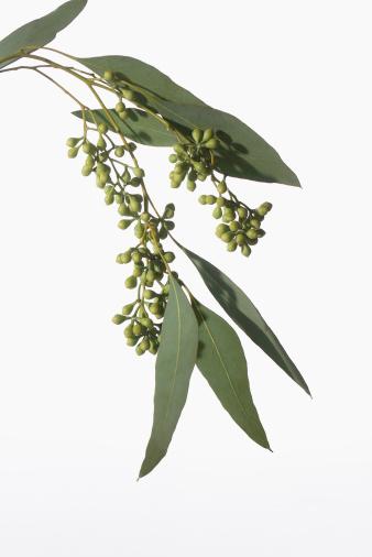 葉・植物「Eucalyptus branch, studio shot」:スマホ壁紙(10)