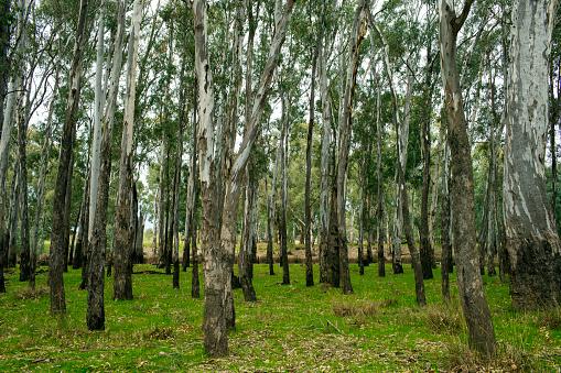 Grove「Eucalyptus Forest」:スマホ壁紙(17)