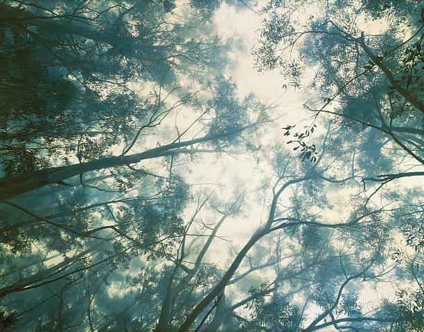 Eucalyptus trees in misty rainforest, view from below:スマホ壁紙(壁紙.com)