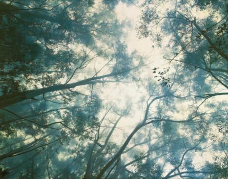 Haleakala National Park「Eucalyptus trees in misty rainforest, view from below」:スマホ壁紙(4)