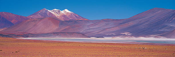 Vicuna (Vicugna vicugna) grazing near saltpans, Atacama Desert, Chile:スマホ壁紙(壁紙.com)