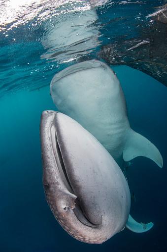 ジンベイザメ「Pair of whale sharks in Cenderawasih Bay, West Papua, Indonesia.」:スマホ壁紙(18)