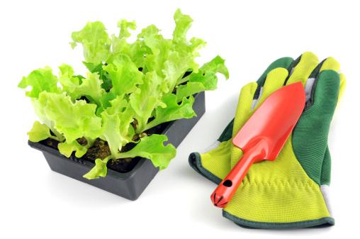 Protective Glove「Seedling Lollo Bionda Lettuce Salat with garden glove and trowel」:スマホ壁紙(8)