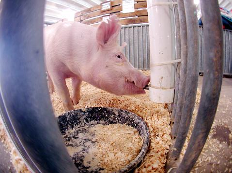 Agricultural Building「Pig drinking water」:スマホ壁紙(15)