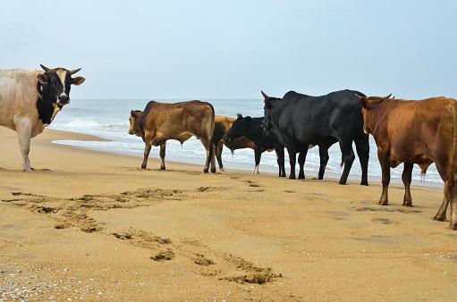 アラビア海「Cows on the beach」:スマホ壁紙(11)