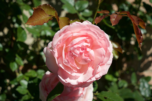 花「Rosa inglese rosa」:スマホ壁紙(9)