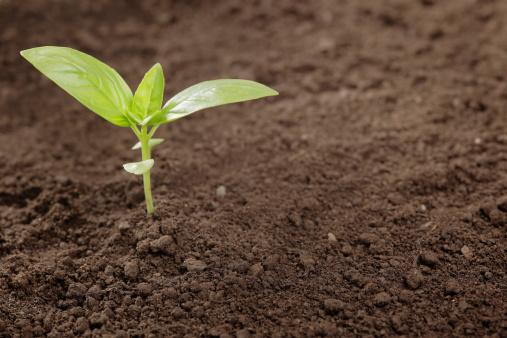 Planting「Basil」:スマホ壁紙(17)