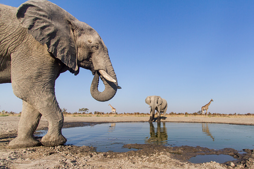 Giraffe「Remote Camera View of African Elephants, Botswana」:スマホ壁紙(10)