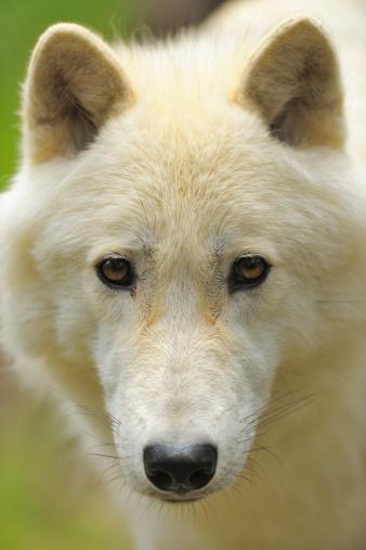 Wolf「Polar Wolf」:スマホ壁紙(18)