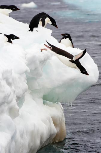 Taking the Plunge「Adélie Penguin (Pygoscelis adeliae)」:スマホ壁紙(5)