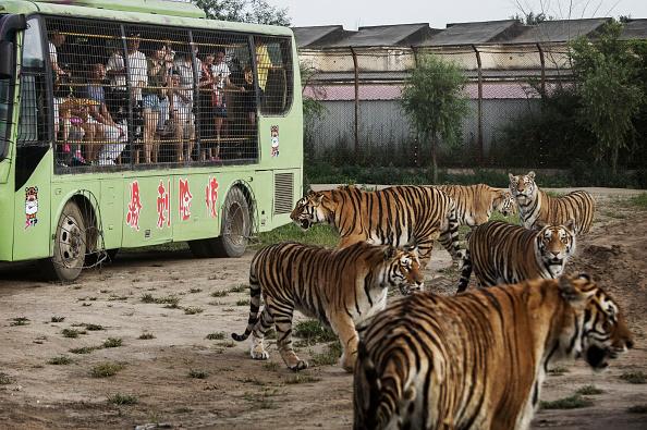 Wilderness Area「China's Siberian Tiger Farm」:写真・画像(8)[壁紙.com]