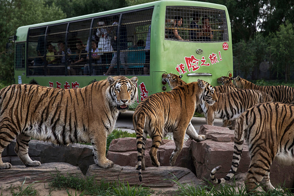 Wilderness Area「China's Siberian Tiger Farm」:写真・画像(7)[壁紙.com]
