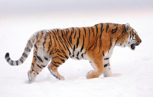 Siberian Tiger「siberian tiger」:スマホ壁紙(16)