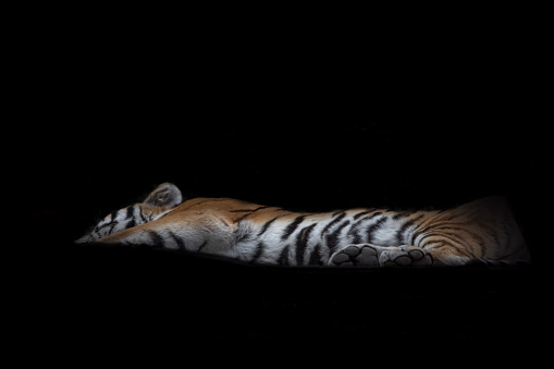 Tiger「Siberian tiger lying in front of black background」:スマホ壁紙(13)