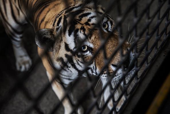 Wilderness Area「China's Siberian Tiger Farm」:写真・画像(16)[壁紙.com]