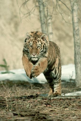Pouncing「Siberian Tiger in Mid-Pounce」:スマホ壁紙(13)