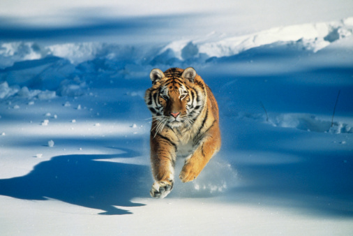 Tiger「Siberian tiger (Panthera tigris altaica) charging through snow」:スマホ壁紙(9)