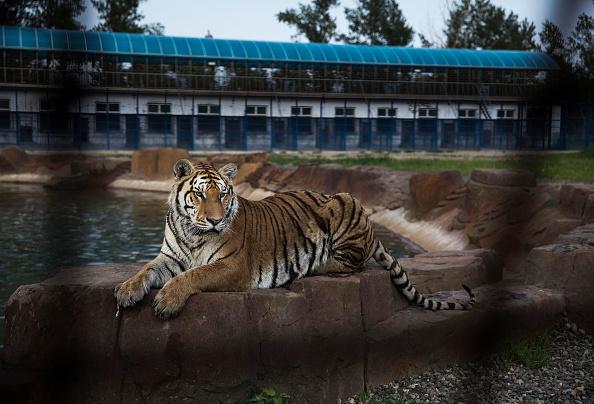 Wilderness Area「China's Siberian Tiger Farm」:写真・画像(3)[壁紙.com]