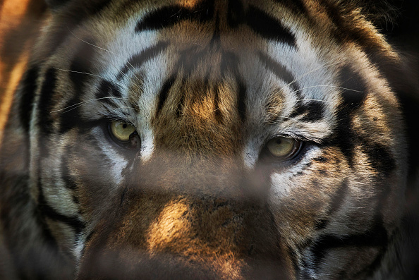 Wilderness Area「China's Siberian Tiger Farm」:写真・画像(19)[壁紙.com]