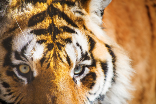 虎「Siberian Tiger, Close up of face」:スマホ壁紙(4)