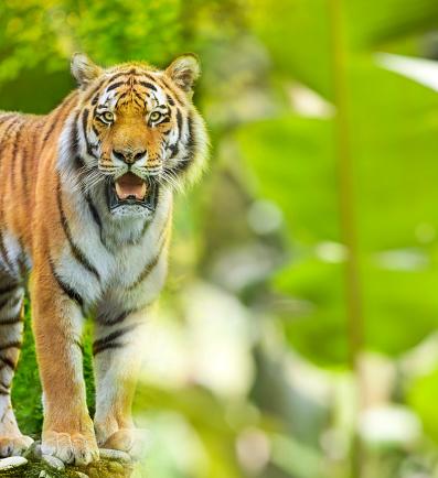 虎「カメラ目線のジャングルでシベリア虎の立っています。」:スマホ壁紙(19)