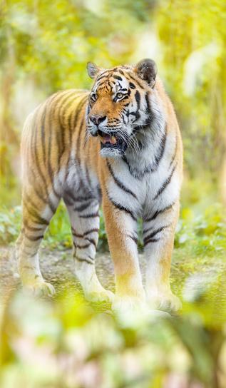 虎「ジャングルの中でシベリア虎の立っています。」:スマホ壁紙(10)