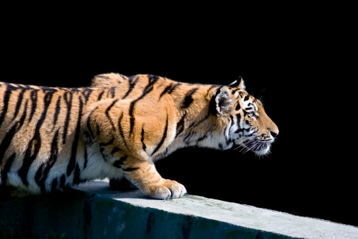 Animals Hunting「Siberian tiger (Panthera tigris altaica)」:スマホ壁紙(4)